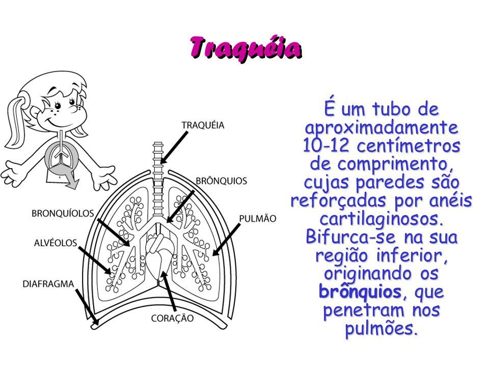 Traquéia É um tubo de aproximadamente 10-12 centímetros de comprimento, cujas paredes são reforçadas por anéis cartilaginosos. Bifurca-se na sua regiã