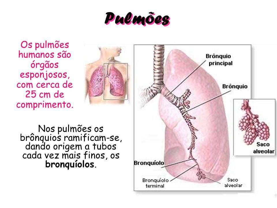 Pulmões Os pulmões humanos são órgãos esponjosos, com cerca de 25 cm de comprimento. Nos pulmões os brônquios ramificam-se, dando origem a tubos cada