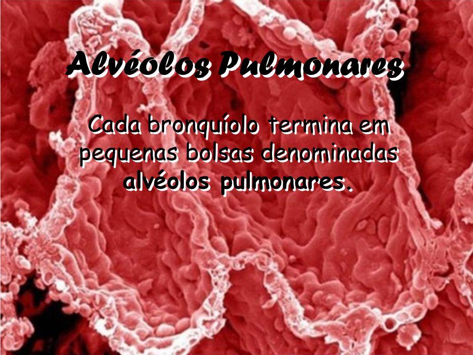 Alvéolos Pulmonares Cada bronquíolo termina em pequenas bolsas denominadas alvéolos pulmonares.