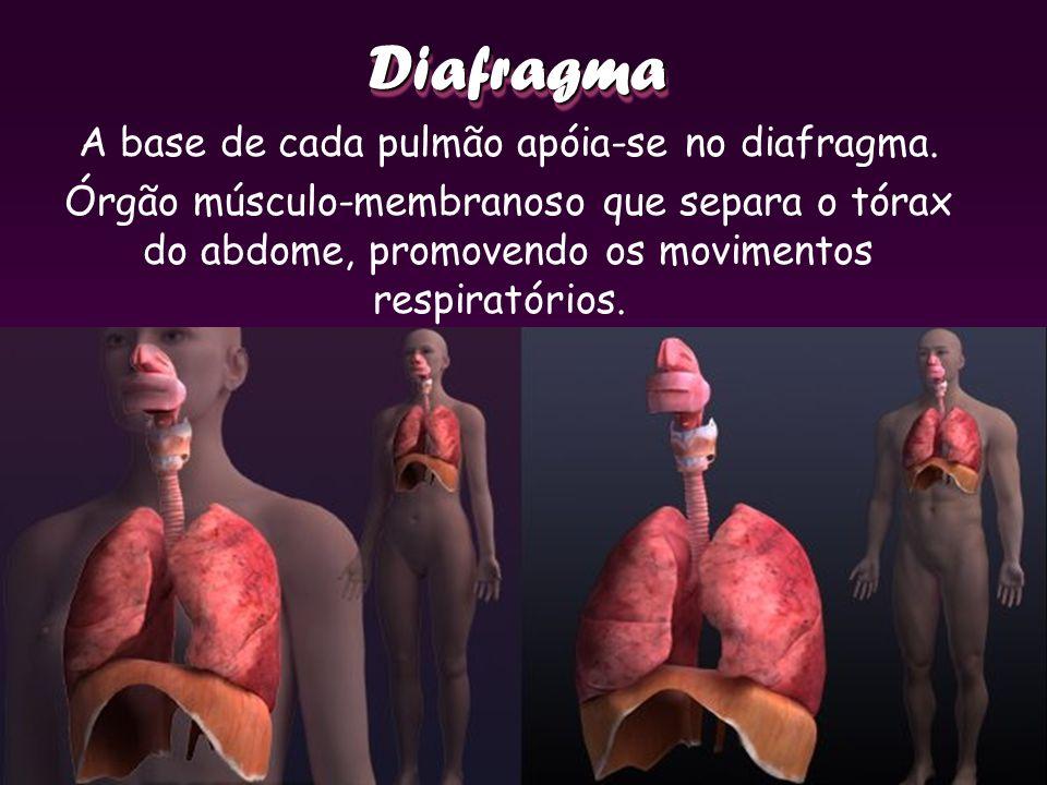 DiafragmaDiafragma A base de cada pulmão apóia-se no diafragma. Órgão músculo-membranoso que separa o tórax do abdome, promovendo os movimentos respir