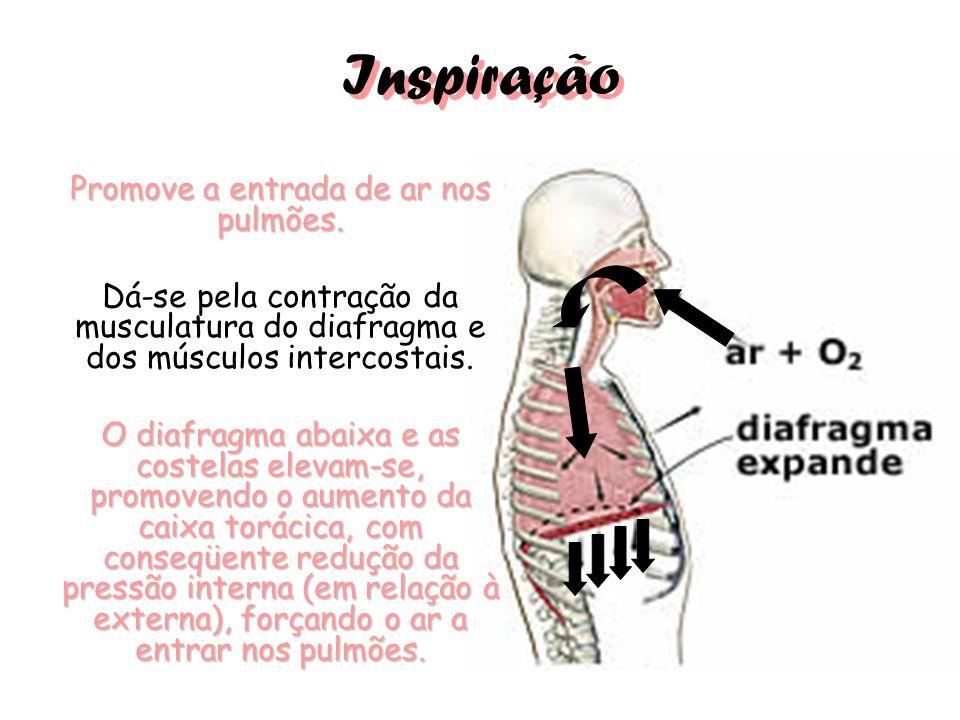 Inspiração Promove a entrada de ar nos pulmões. Dá-se pela contração da musculatura do diafragma e dos músculos intercostais. O diafragma abaixa e as
