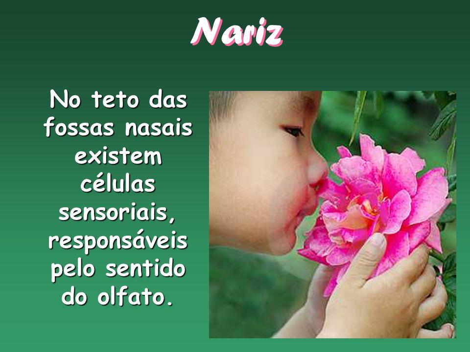 No teto das fossas nasais existem células sensoriais, responsáveis pelo sentido do olfato. Nariz