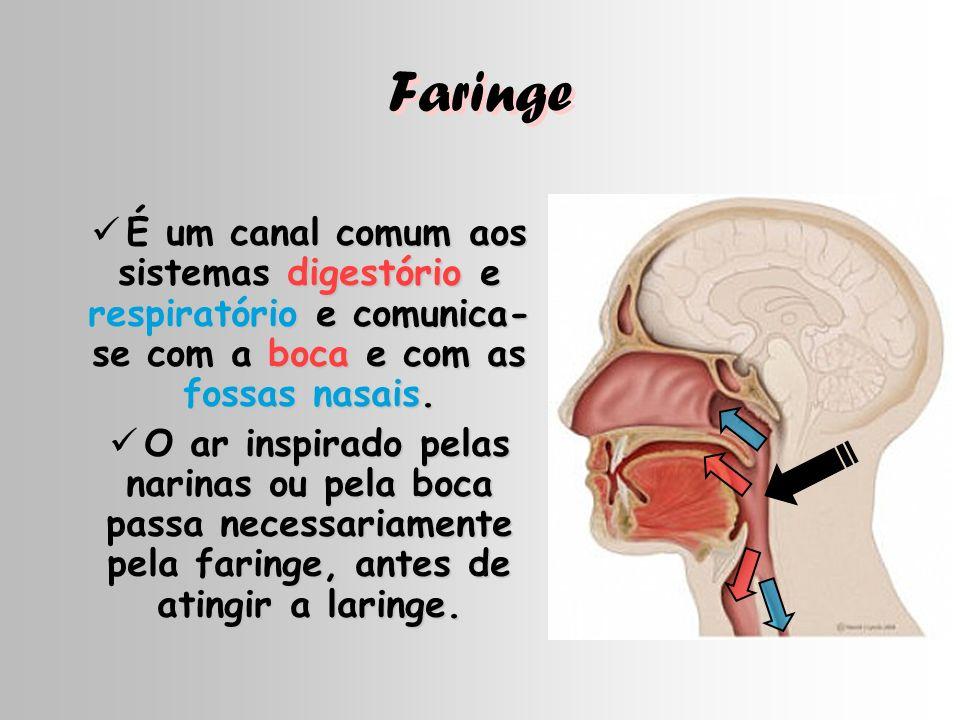 Faringe É um canal comum aos sistemas digestório e respiratório e comunica- se com a boca e com as fossas nasais. É um canal comum aos sistemas digest