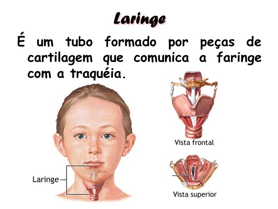 Laringe É um tubo formado por peças de cartilagem que comunica a faringe com a traquéia.