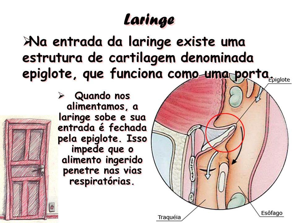 Laringe Na entrada da laringe existe uma estrutura de cartilagem denominada epiglote, que funciona como uma porta. Quando nos alimentamos, a laringe s