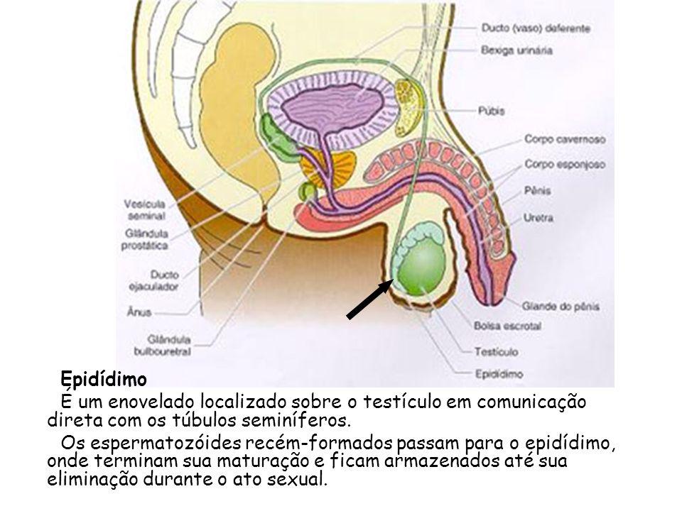 Epidídimo É um enovelado localizado sobre o testículo em comunicação direta com os túbulos seminíferos. Os espermatozóides recém-formados passam para