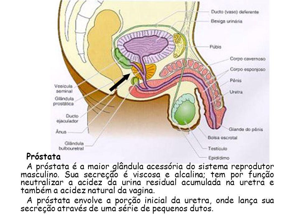 Próstata A próstata é a maior glândula acessória do sistema reprodutor masculino. Sua secreção é viscosa e alcalina; tem por função neutralizar a acid