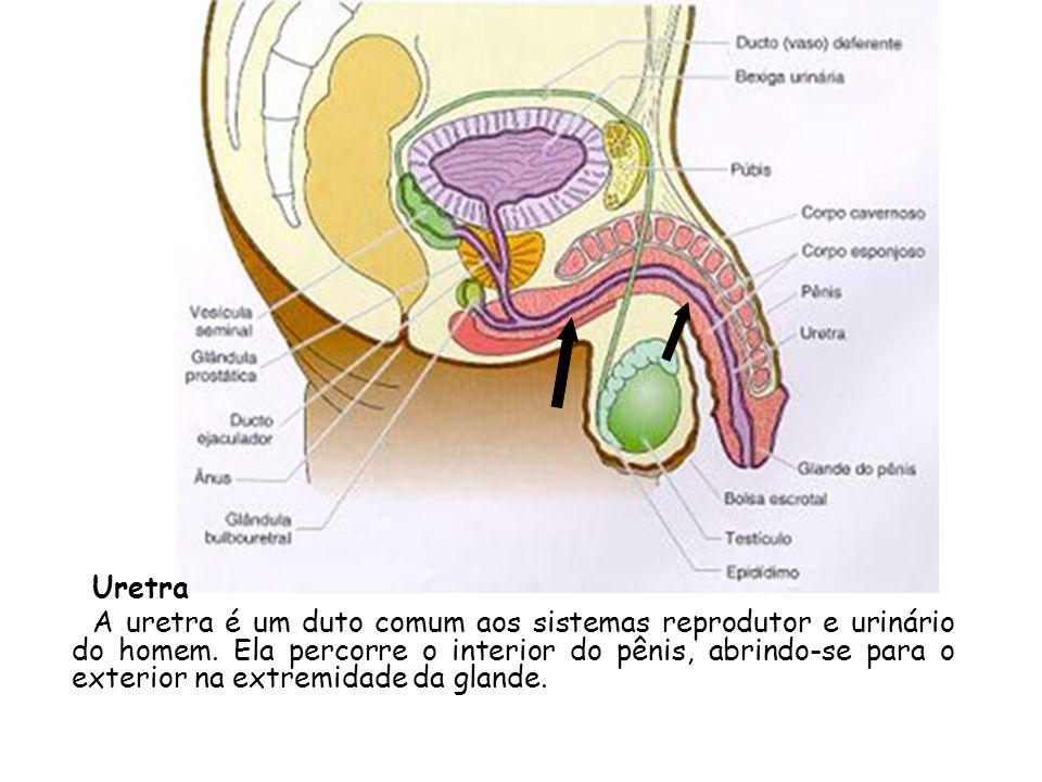 Uretra A uretra é um duto comum aos sistemas reprodutor e urinário do homem. Ela percorre o interior do pênis, abrindo-se para o exterior na extremida
