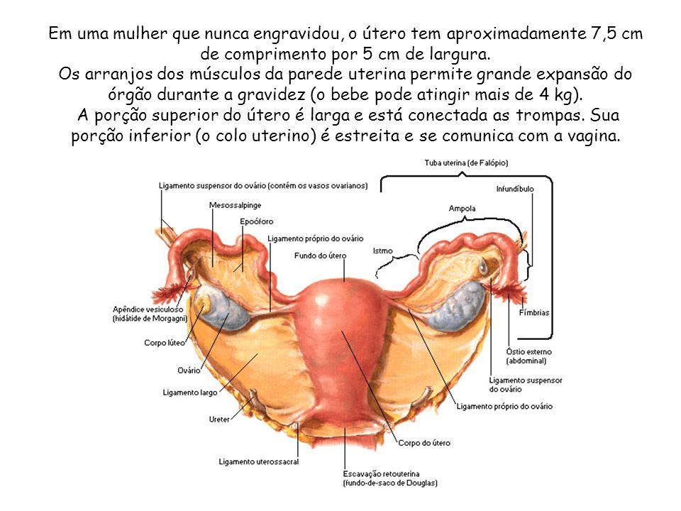 Em uma mulher que nunca engravidou, o útero tem aproximadamente 7,5 cm de comprimento por 5 cm de largura. Os arranjos dos músculos da parede uterina