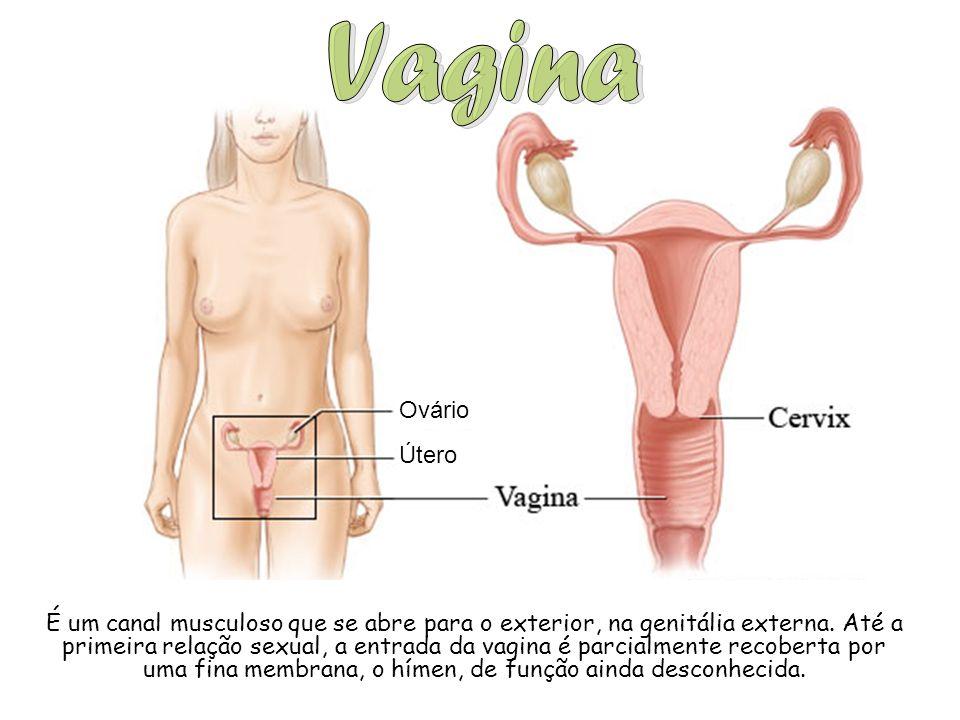 Ovário Útero É um canal musculoso que se abre para o exterior, na genitália externa. Até a primeira relação sexual, a entrada da vagina é parcialmente