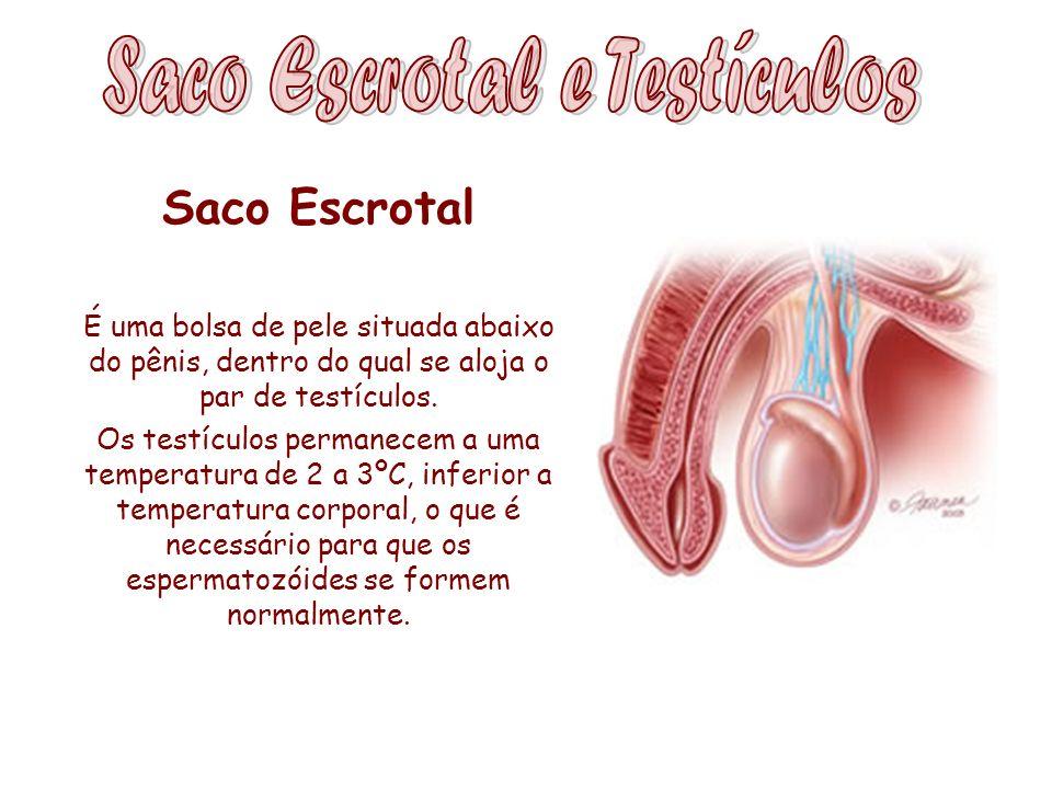 Saco Escrotal É uma bolsa de pele situada abaixo do pênis, dentro do qual se aloja o par de testículos. Os testículos permanecem a uma temperatura de