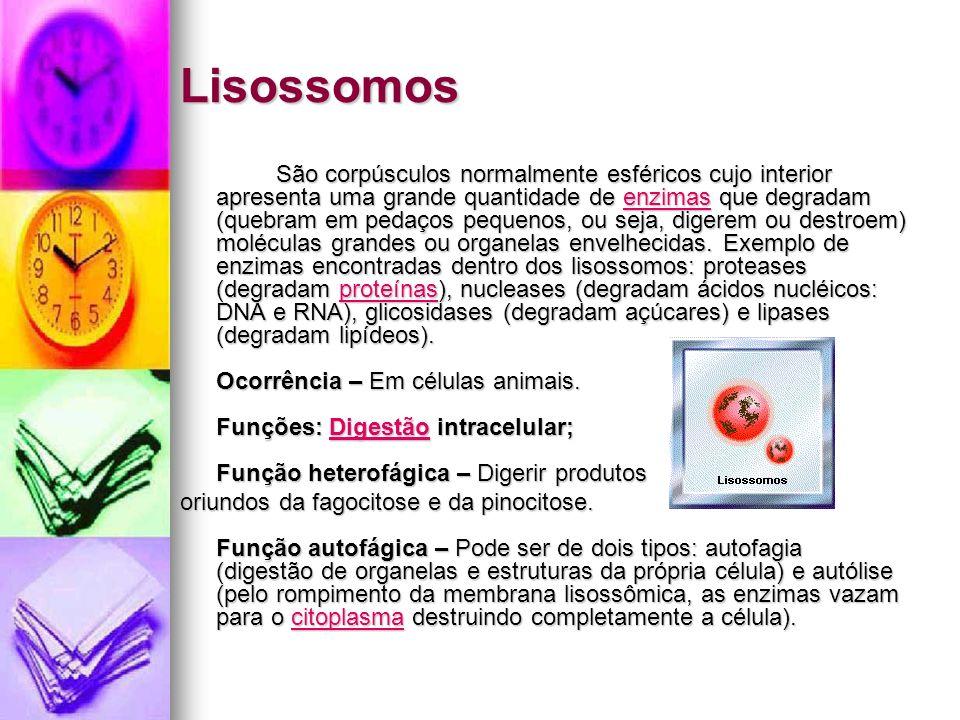 Lisossomos São corpúsculos normalmente esféricos cujo interior apresenta uma grande quantidade de enzimas que degradam (quebram em pedaços pequenos, ou seja, digerem ou destroem) moléculas grandes ou organelas envelhecidas.