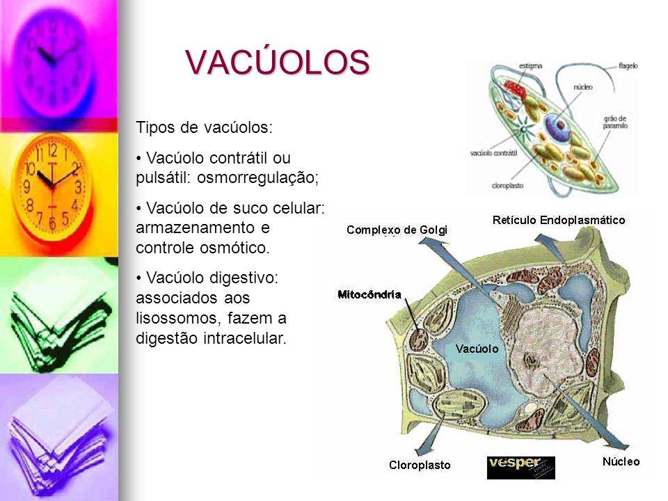 VACÚOLOS Tipos de vacúolos: Vacúolo contrátil ou pulsátil: osmorregulação; Vacúolo de suco celular: armazenamento e controle osmótico.