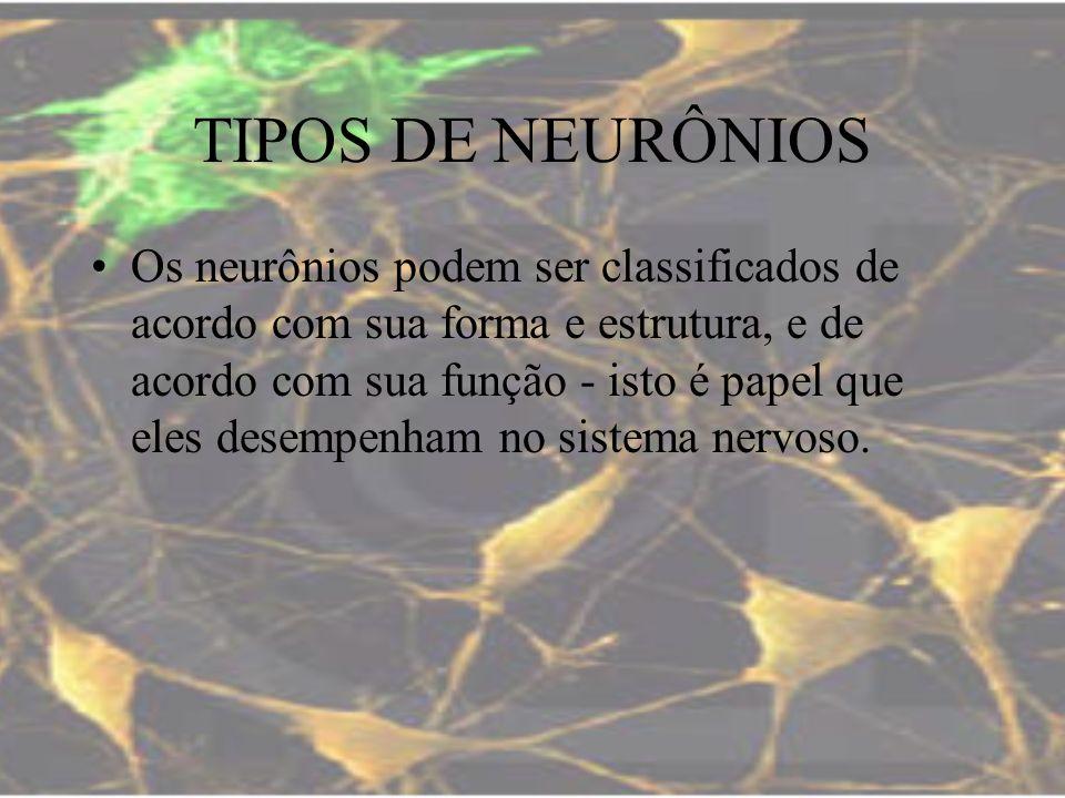 TIPOS DE NEURÔNIOS Os neurônios podem ser classificados de acordo com sua forma e estrutura, e de acordo com sua função - isto é papel que eles desemp