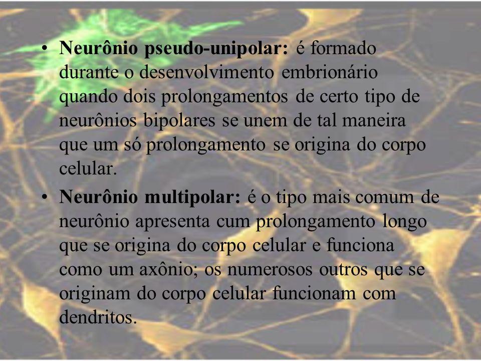 Neurônio pseudo-unipolar: é formado durante o desenvolvimento embrionário quando dois prolongamentos de certo tipo de neurônios bipolares se unem de t