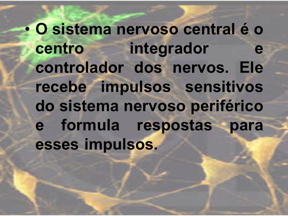 O sistema nervoso central é o centro integrador e controlador dos nervos. Ele recebe impulsos sensitivos do sistema nervoso periférico e formula respo