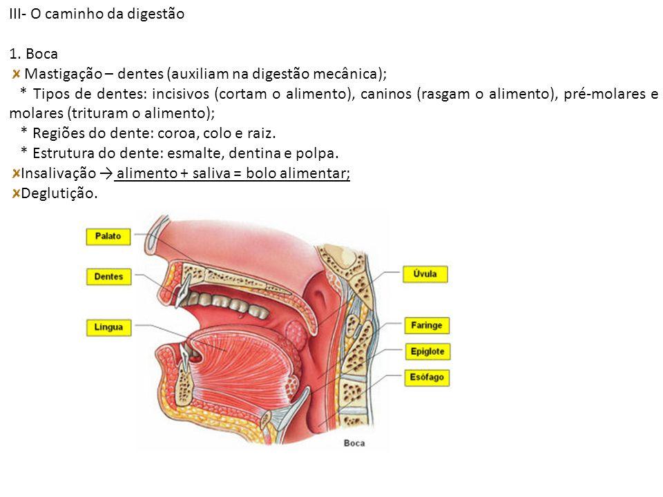 III- O caminho da digestão 1. Boca Mastigação – dentes (auxiliam na digestão mecânica); * Tipos de dentes: incisivos (cortam o alimento), caninos (ras