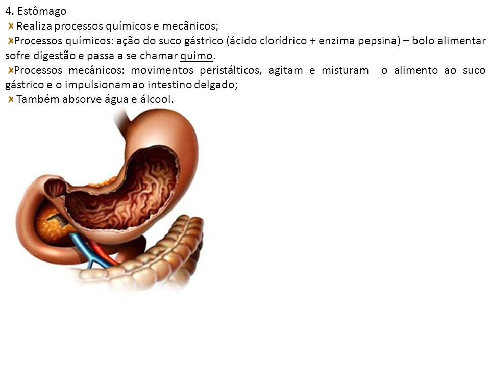4. Estômago Realiza processos químicos e mecânicos; Processos químicos: ação do suco gástrico (ácido clorídrico + enzima pepsina) – bolo alimentar sof