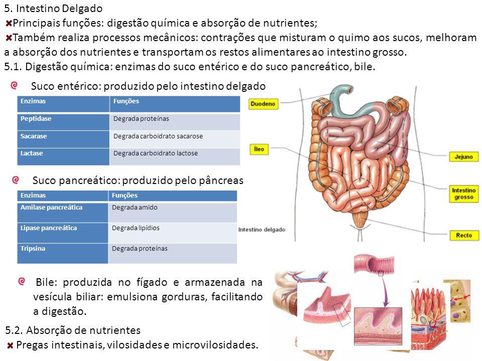 5. Intestino Delgado Principais funções: digestão química e absorção de nutrientes; Também realiza processos mecânicos: contrações que misturam o quim