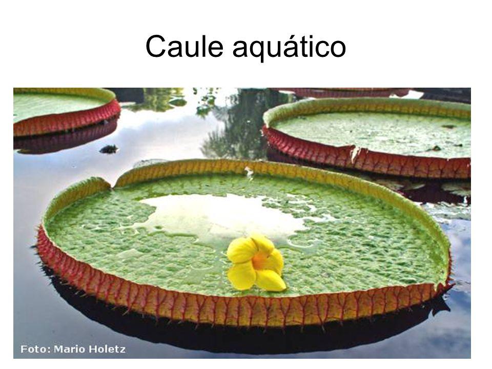 Caule aquático