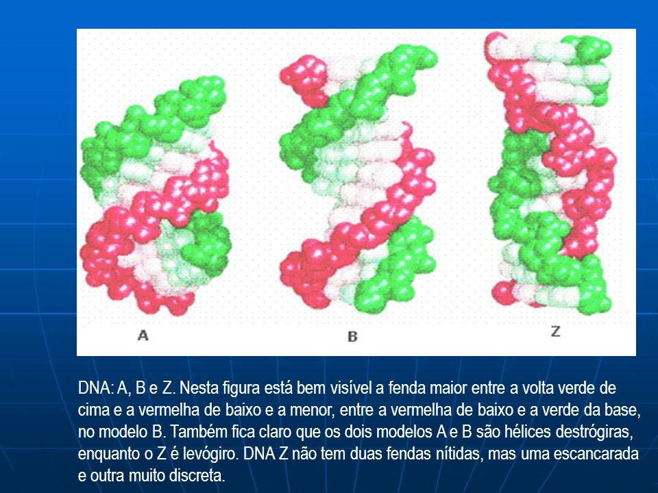 DNA: A, B e Z.