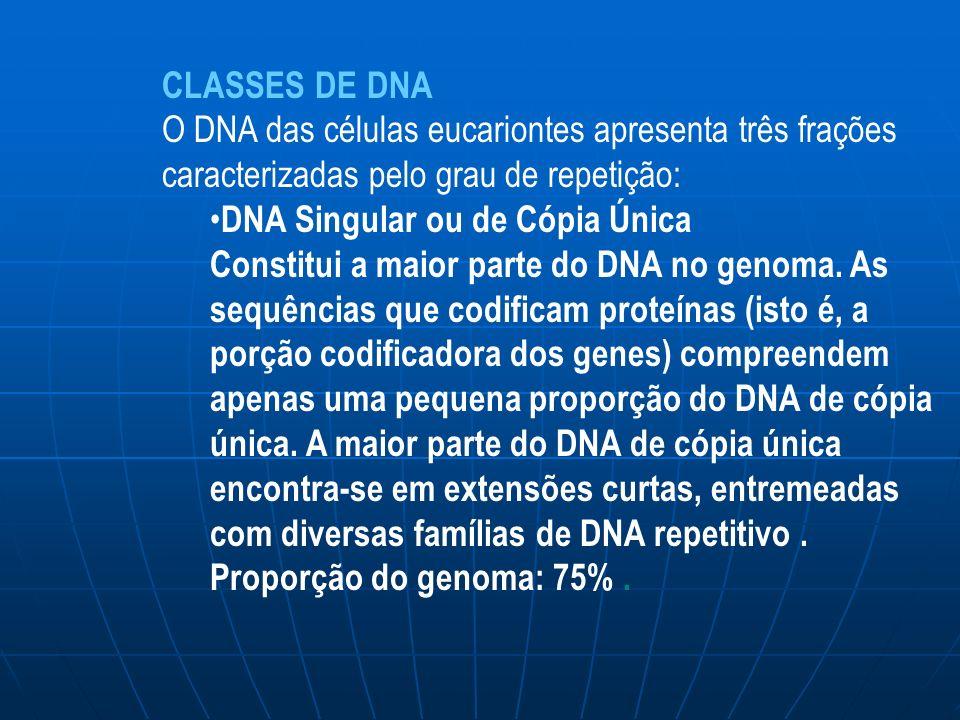 CLASSES DE DNA O DNA das células eucariontes apresenta três frações caracterizadas pelo grau de repetição: DNA Singular ou de Cópia Única Constitui a maior parte do DNA no genoma.
