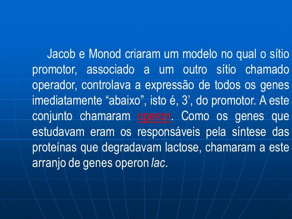 Jacob e Monod criaram um modelo no qual o sítio promotor, associado a um outro sítio chamado operador, controlava a expressão de todos os genes imediatamente abaixo, isto é, 3, do promotor.
