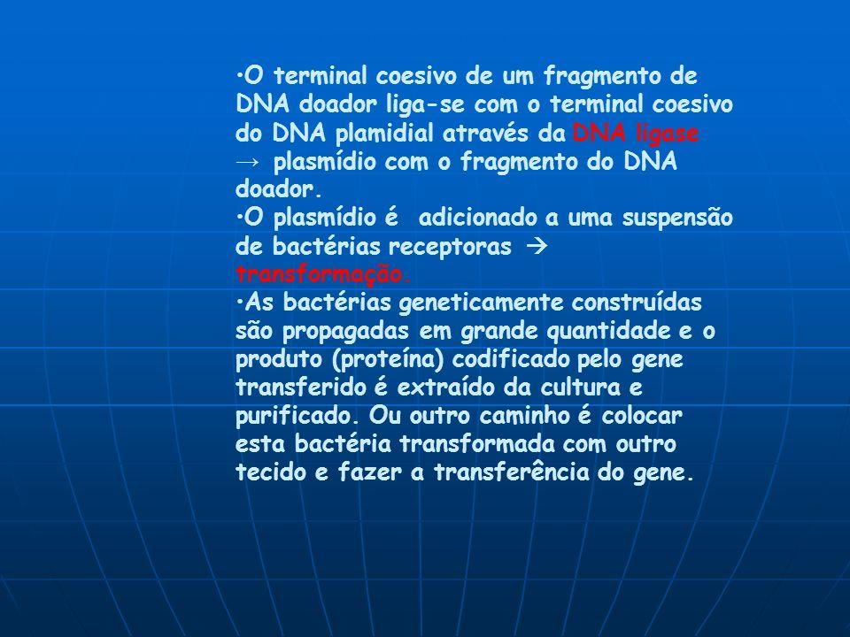 O terminal coesivo de um fragmento de DNA doador liga-se com o terminal coesivo do DNA plamidial através da DNA ligase plasmídio com o fragmento do DNA doador.