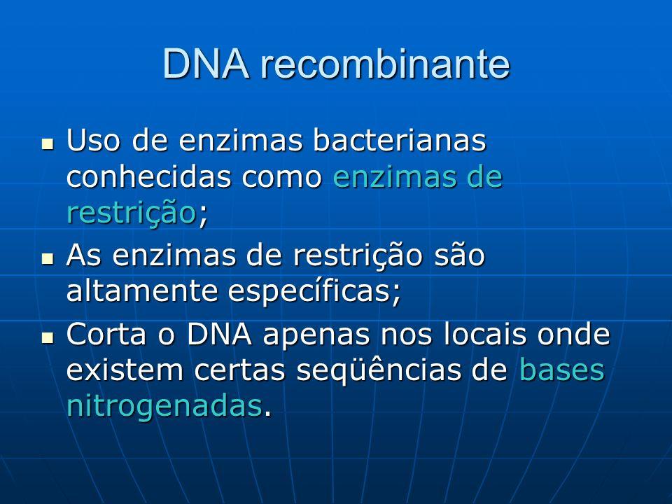 DNA recombinante Uso de enzimas bacterianas conhecidas como enzimas de restrição; Uso de enzimas bacterianas conhecidas como enzimas de restrição; As enzimas de restrição são altamente específicas; As enzimas de restrição são altamente específicas; Corta o DNA apenas nos locais onde existem certas seqüências de bases nitrogenadas.