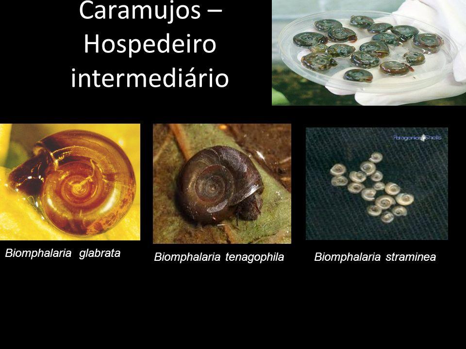 Biomphalaria glabrata Biomphalaria tenagophilaBiomphalaria straminea Caramujos – Hospedeiro intermediário
