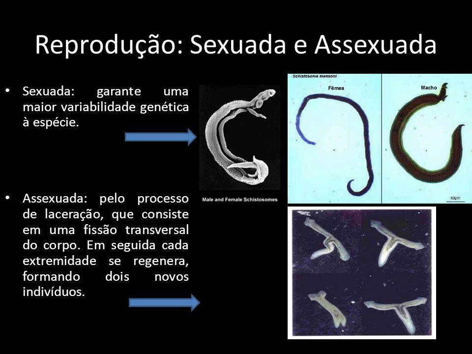 Reprodução: Sexuada e Assexuada Sexuada: garante uma maior variabilidade genética à espécie. Assexuada: pelo processo de laceração, que consiste em um