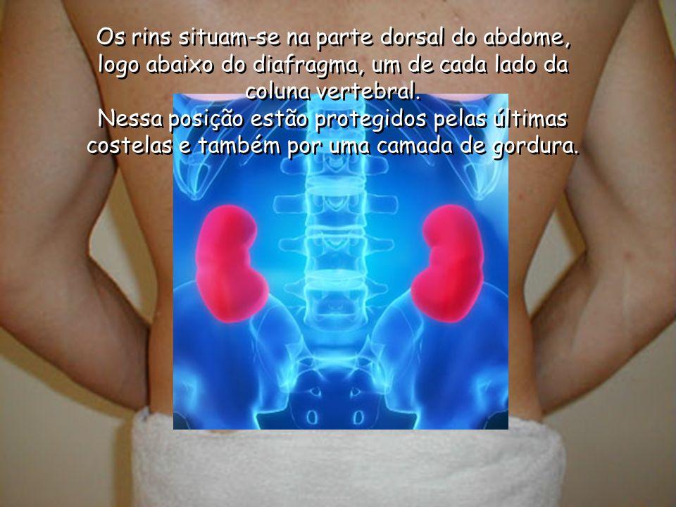 Os rins situam-se na parte dorsal do abdome, logo abaixo do diafragma, um de cada lado da coluna vertebral. Nessa posição estão protegidos pelas últim