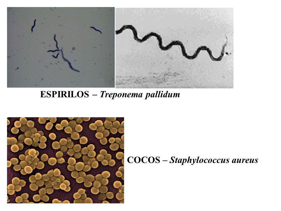 ESPIRILOS – Treponema pallidum COCOS – Staphylococcus aureus