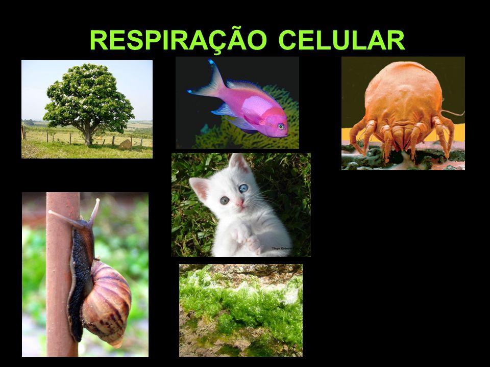 PROFESSOR CLAUDIO GIOVANNINI RESPIRAÇÃO CELULAR