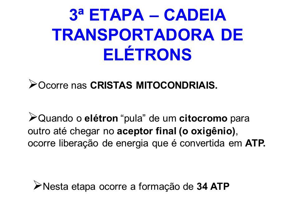 3ª ETAPA – CADEIA TRANSPORTADORA DE ELÉTRONS Ocorre nas CRISTAS MITOCONDRIAIS. Quando o elétron pula de um citocromo para outro até chegar no aceptor