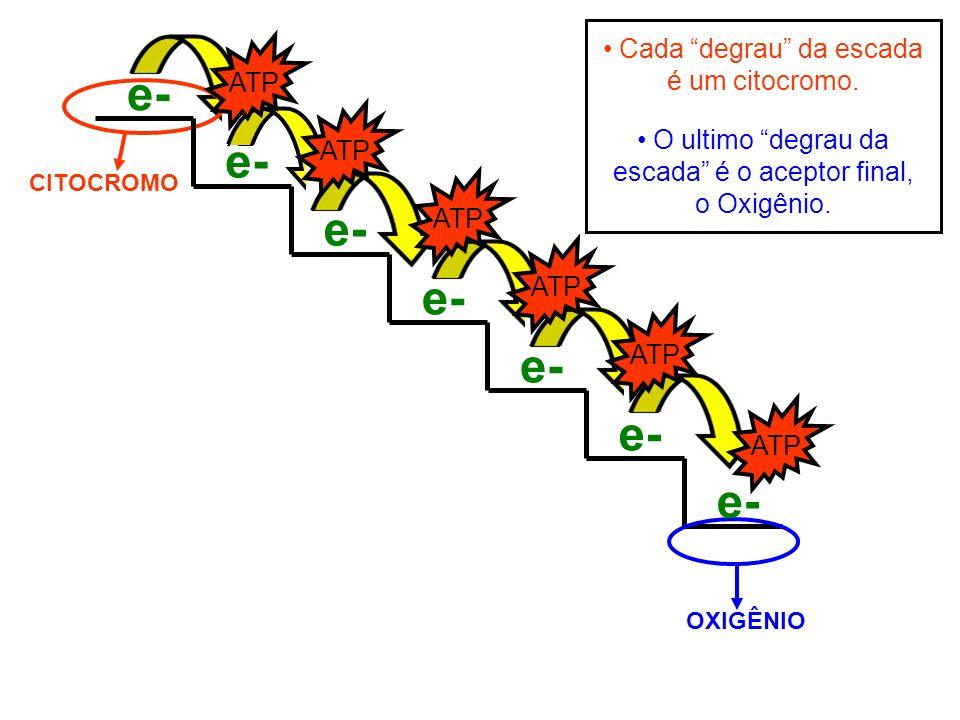 CITOCROMO Cada degrau da escada é um citocromo. OXIGÊNIO O ultimo degrau da escada é o aceptor final, o Oxigênio. e-e- e-e- e-e- e-e- e-e- e-e- e-e- A