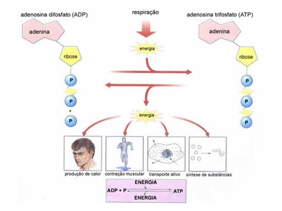 RENDIMENTO ENERGÉTICO DA RESPIRAÇÃO AERÓBIA ETAPARENDIMENTO GLICÓLISE CICLO DE KREBS ENTRAR NA MITOCÔNDRIA FOSFORILAÇÃO OXIDATIVA TOTAL + 2 ATP - 2 ATP + 34 ATP 40 ATP