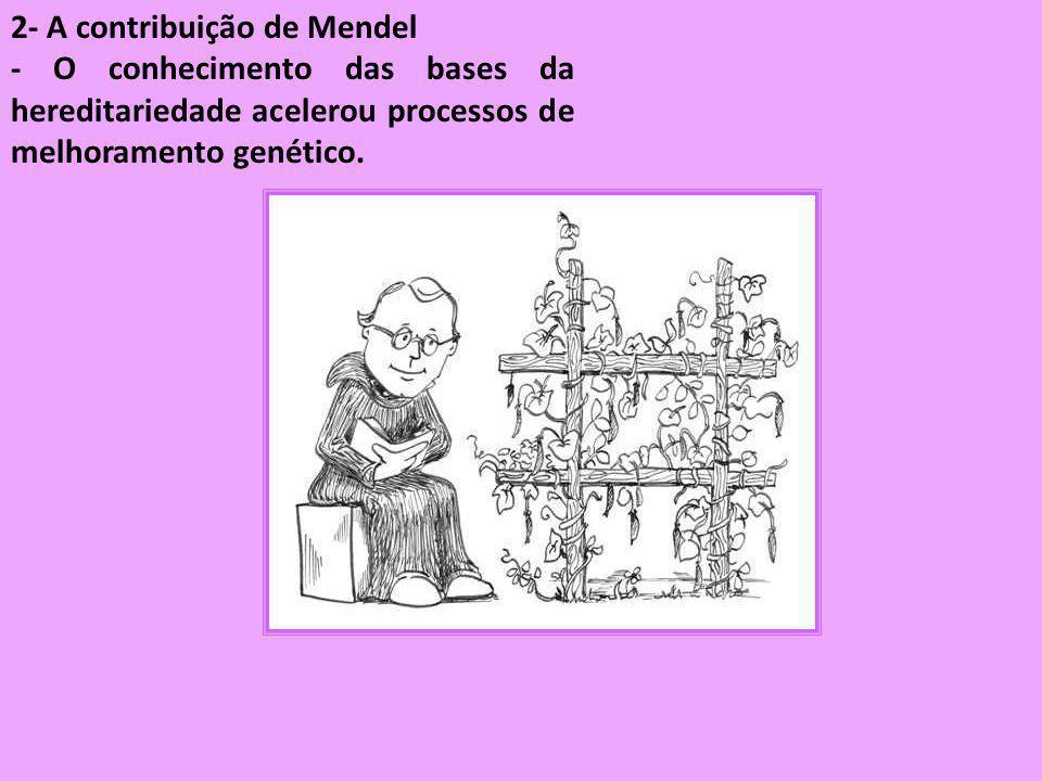 2- A contribuição de Mendel - O conhecimento das bases da hereditariedade acelerou processos de melhoramento genético.