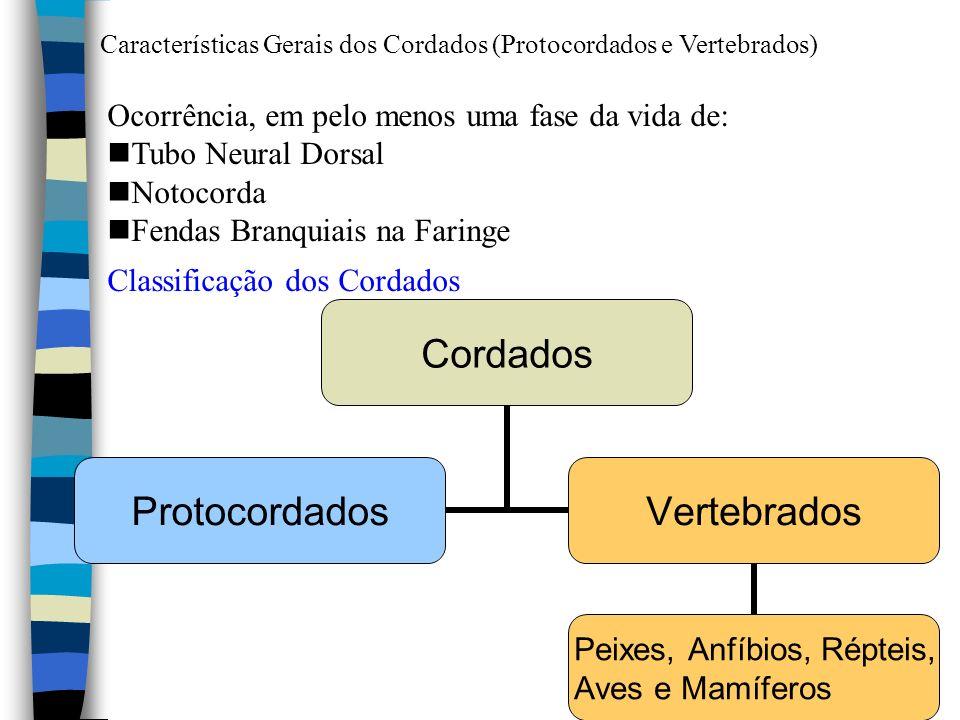 Características Gerais dos Cordados (Protocordados e Vertebrados) Ocorrência, em pelo menos uma fase da vida de: nTubo Neural Dorsal nNotocorda nFenda