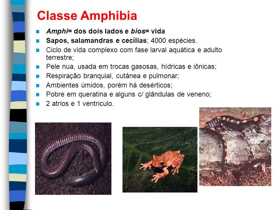 Classe Amphibia Amphi= dos dois lados e bios= vida Sapos, salamandras e cecílias; 4000 espécies. Ciclo de vida complexo com fase larval aquática e adu