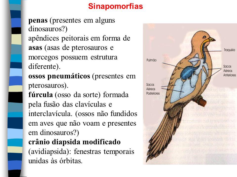 Sinapomorfias penas (presentes em alguns dinosauros?) apêndices peitorais em forma de asas (asas de pterosauros e morcegos possuem estrutura diferente