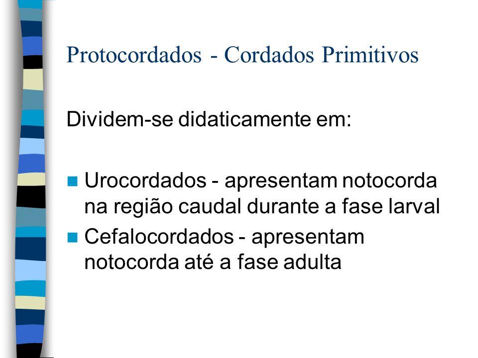 Protocordados - Cordados Primitivos Dividem-se didaticamente em: Urocordados - apresentam notocorda na região caudal durante a fase larval Cefalocorda