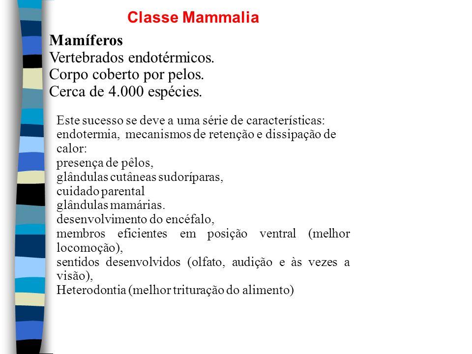Classe Mammalia Mamíferos Vertebrados endotérmicos. Corpo coberto por pelos. Cerca de 4.000 espécies. Este sucesso se deve a uma série de característi