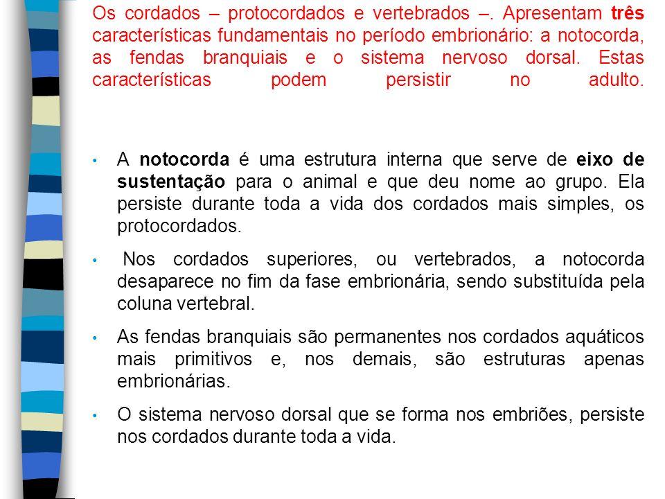 Os cordados – protocordados e vertebrados –. Apresentam três características fundamentais no período embrionário: a notocorda, as fendas branquiais e