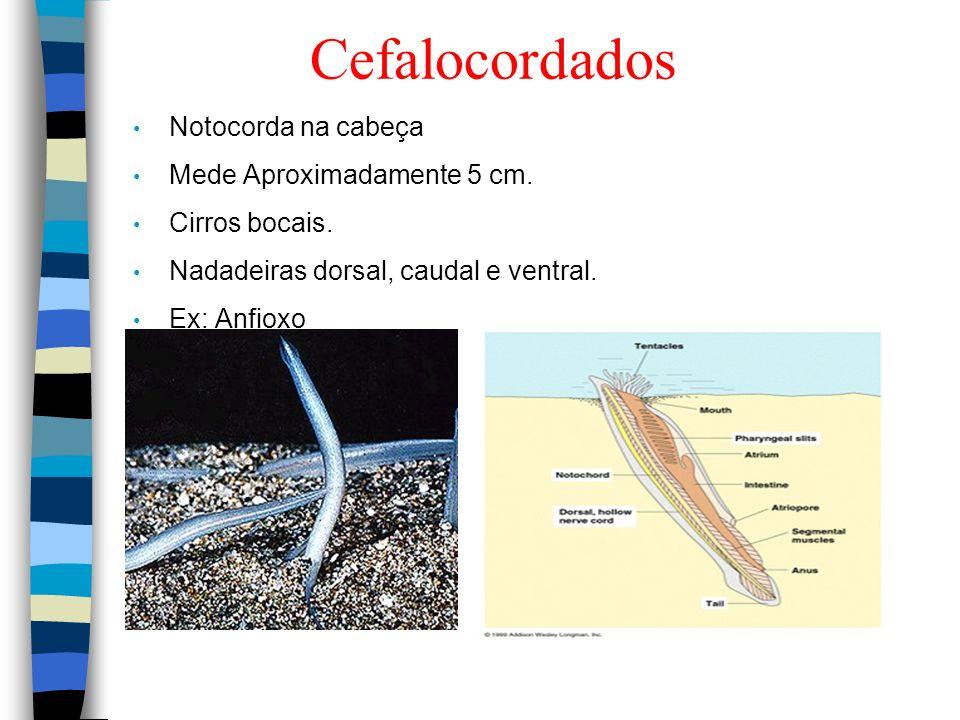 Cefalocordados Notocorda na cabeça Mede Aproximadamente 5 cm. Cirros bocais. Nadadeiras dorsal, caudal e ventral. Ex: Anfioxo