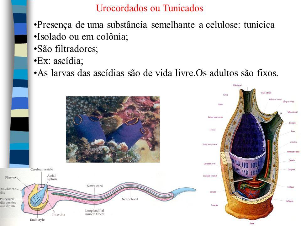 Urocordados ou Tunicados Presença de uma substância semelhante a celulose: tunicica Isolado ou em colônia; São filtradores; Ex: ascídia; As larvas das