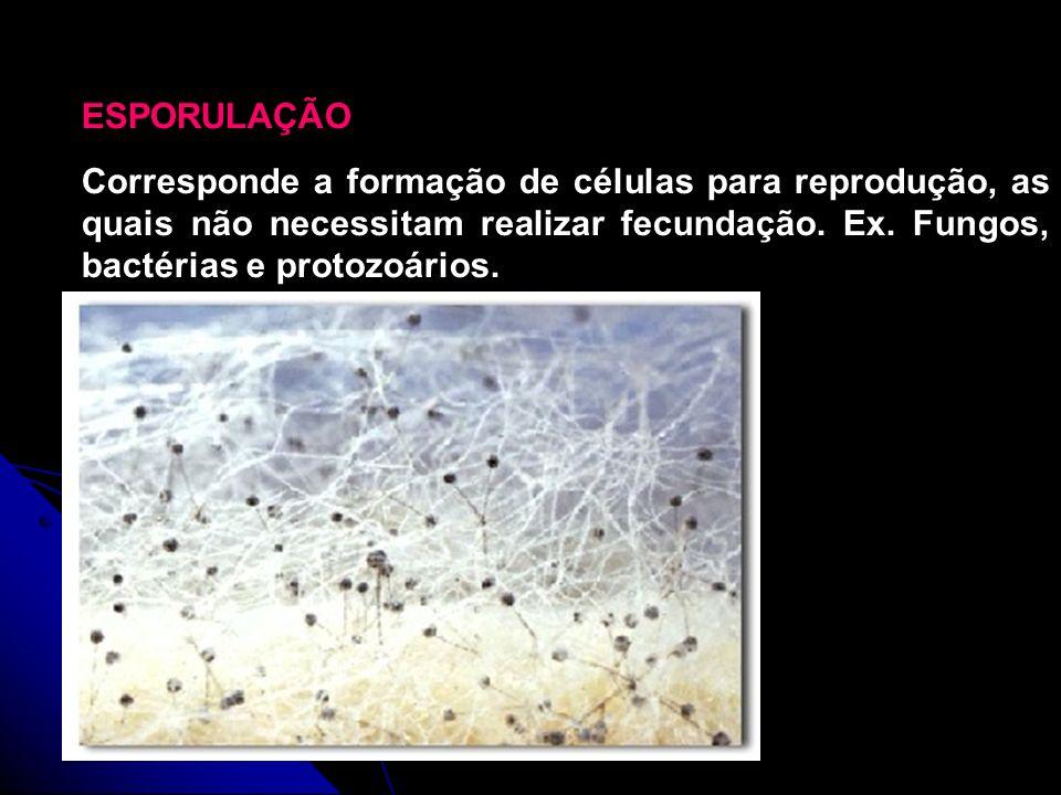 ESPORULAÇÃO Corresponde a formação de células para reprodução, as quais não necessitam realizar fecundação. Ex. Fungos, bactérias e protozoários. Foto