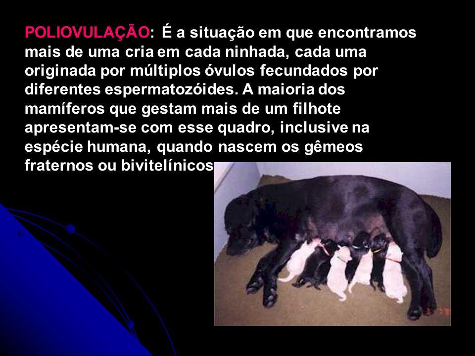 POLIOVULAÇÃO: É a situação em que encontramos mais de uma cria em cada ninhada, cada uma originada por múltiplos óvulos fecundados por diferentes espe