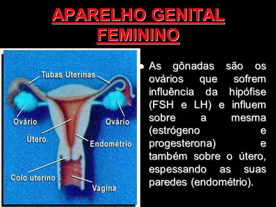 APARELHO GENITAL FEMININO As gônadas são os ovários que sofrem influência da hipófise (FSH e LH) e influem sobre a mesma (estrógeno e progesterona) e