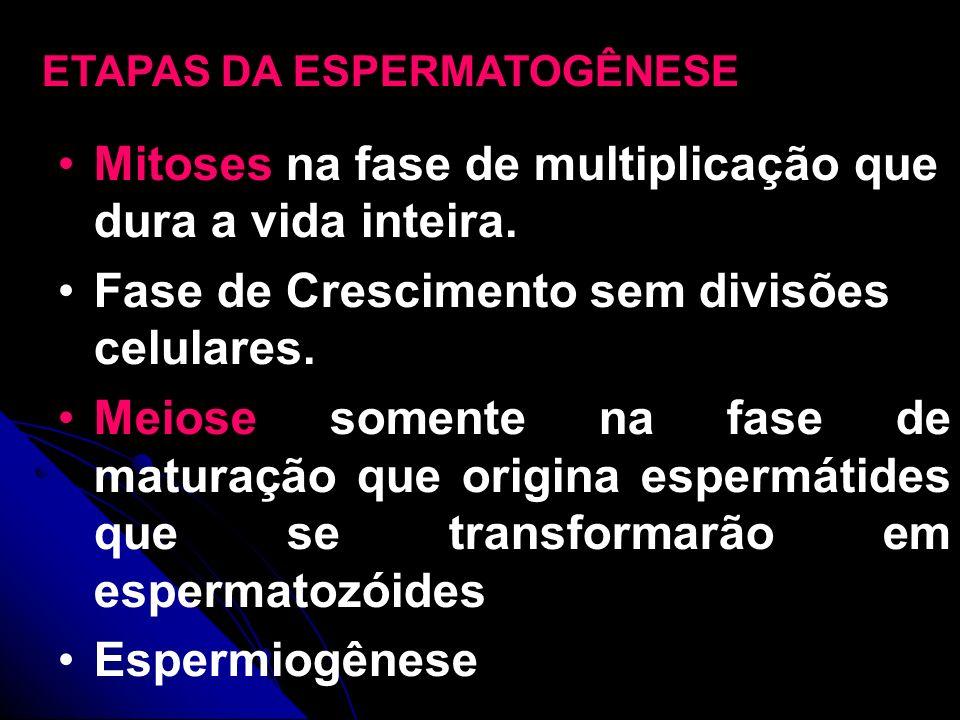 Mitoses na fase de multiplicação que dura a vida inteira. Fase de Crescimento sem divisões celulares. Meiose somente na fase de maturação que origina